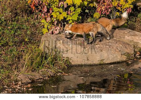 Red Fox (vulpes Vulpes) On Rock