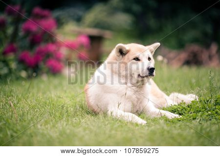 Akita Inu Dog Relaxing On Green Grass Outdoors
