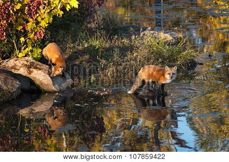 Two Red Fox (vulpes Vulpes) On Shoreline