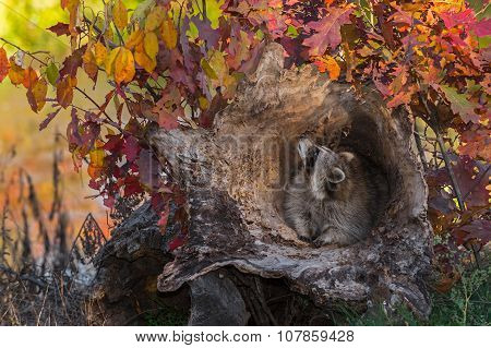 Raccoon (procyon Lotor) Looks Up At Leaves
