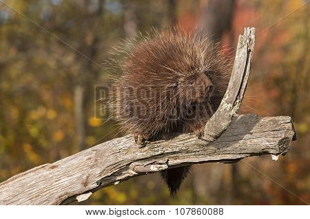 Porcupine (erethizon Dorsatum) Sits Looking Right On Branch