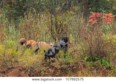 Group Of Fox (vulpes Vulpes) Run Through Weeds