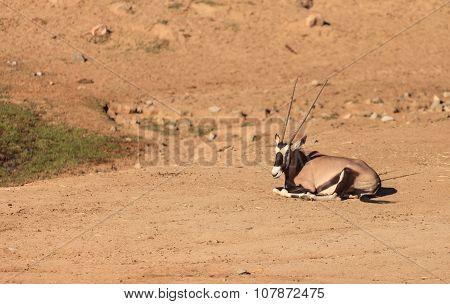Gemsbok, Oryx gazelle