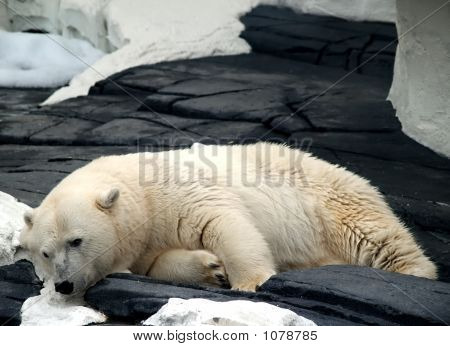 Sleepy Polar Bear
