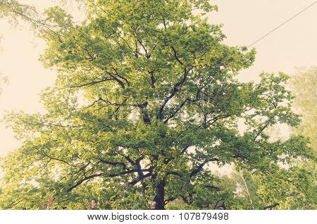 An ancient oaks leafy treetop.