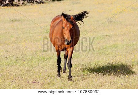 Brown horse running in the meadow with dry grass in the summer