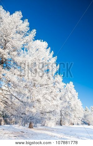 Winter Trees With Hoarfrost Against The Blue Sky.