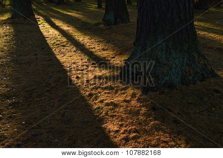 Ground Cover Between The Trunks Of Larches In The Shadows Of Tree Trunks