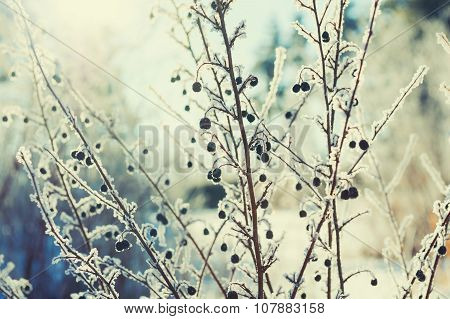 Hoarfrost On The Plants In Winter Forest.