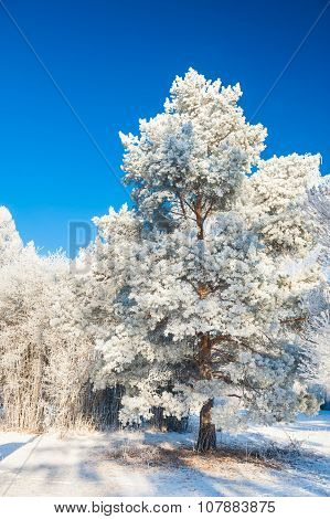 Big Pine Tree With Hoarfrost Against The Blue Sky