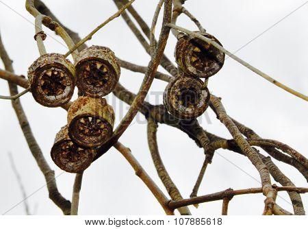 Hanging Gum Tree Fruit: Western Australia