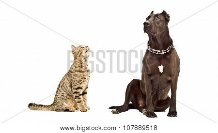 Cat Scottish Straight and Staffordshire Terrier together