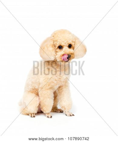 Apricot Poodle Sits And Looks Ahead Puppy Portrait
