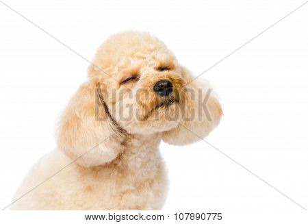 Poodle Close-up With Eyes Closed