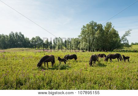 Herd Of Brown Horses Grazing In Wild Nature