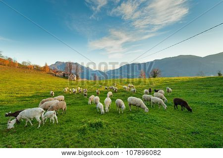 Sheep Grazing On The Italian Alps