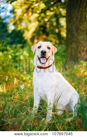 White Labrador Retriever Dog Sitting In Green Grass