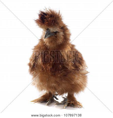 Brown Silkie Chicken