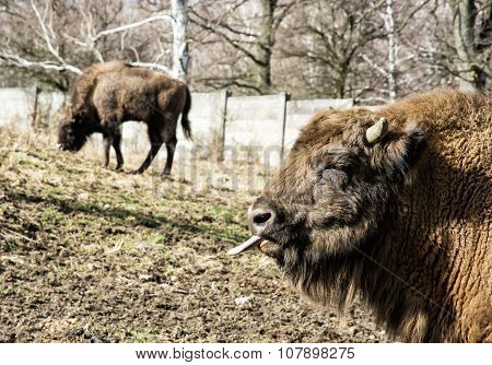European Bison (bison Bonasus) Grazes The Grass And Tongue Out