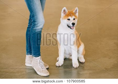 Young White And Red Puppy Akita Dog - Akita Inu, Japanese Akita