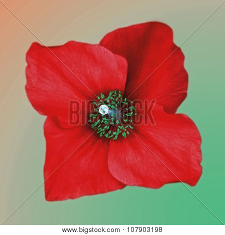 isolated red poppy