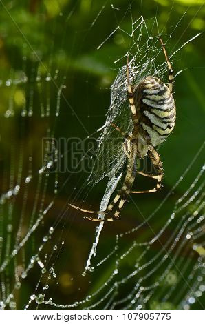 Black-yellow Spider On Spiderweb