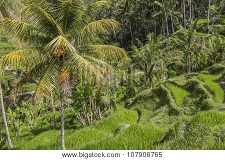 Beautiful Green Terrace Paddy Fields On Bali, Indonesia