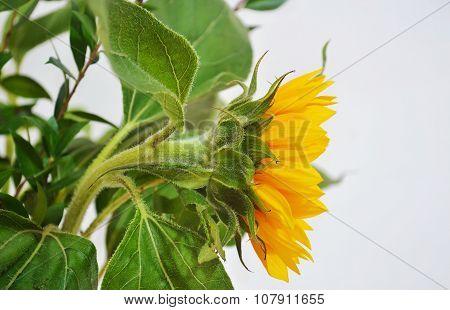 yellow sunflower- helios