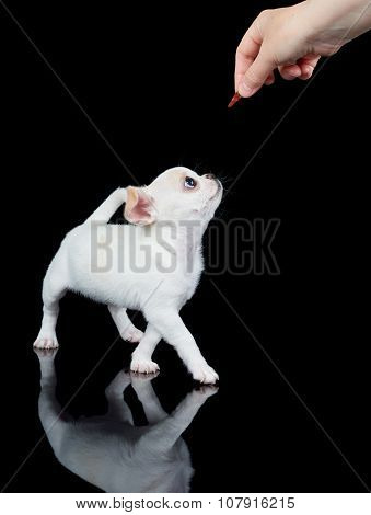 White Puppy Wants To Eat