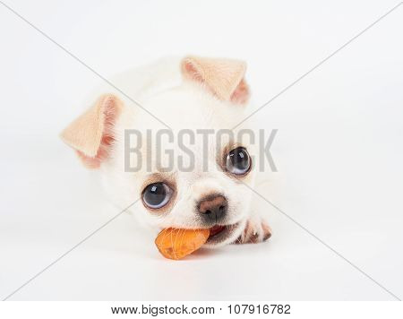 Puppy Of Chihuahua Eats Carrot