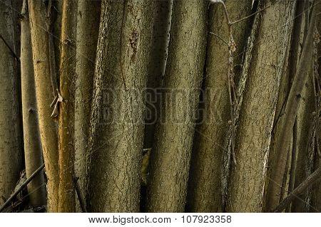 hazel bush  close up