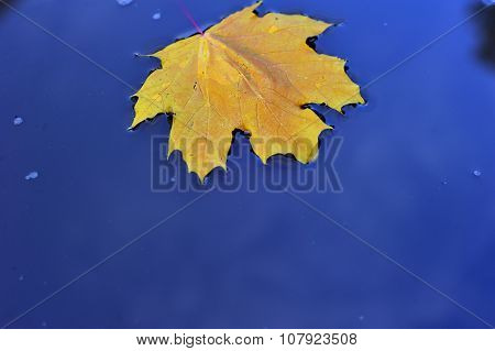 Autumn maple Leaf fell into the water