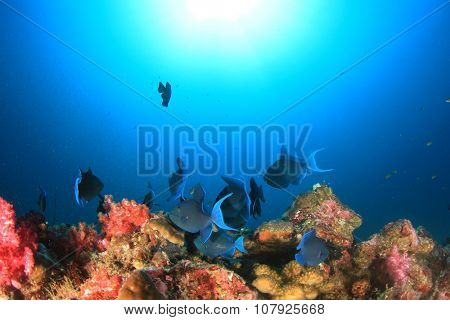 Redtooth Triggerfish and coral reef underwater
