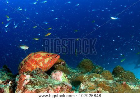 Grouper fish on coral reef underwater