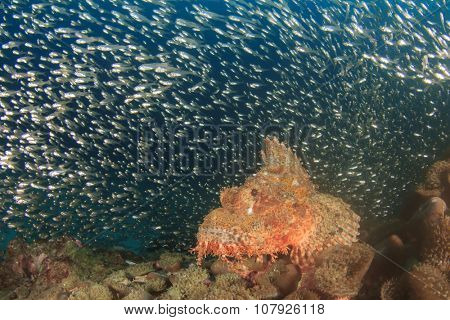 Tasseled Scorpionfish and Glassfish