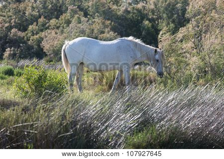 White horse grazing in  meadow near the lake. Summer evening in the Camargue national park. Rhone Delta, Provence