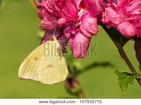 Bright yellow female Cloudless Sulphur butterfly feeding on a dark pink Althea flower