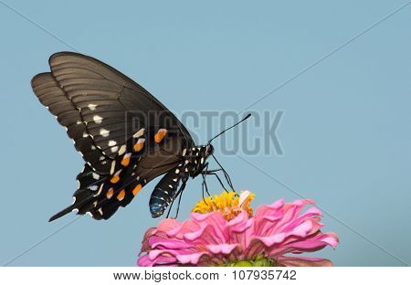 Pipevine Swallowtail butterfly feeding on a pink zinnia flower against clear blue sky