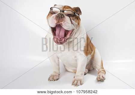 Yawning English Bulldog Wearing Glasses For Vision..