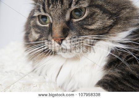 Muzzle Beautiful Fluffy Cat On A Light Background..