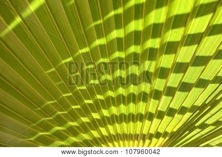 Closeup of palm trea leaf for background