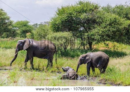 Bathing Elephants In Tarangire Park, Tanzania