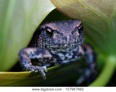 Baby Frog On A Green Leaf Showing Fingers