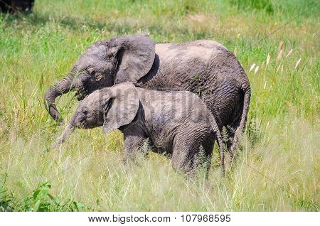 Intimate Moment Of Elephants In Tarangire Park, Tanzania