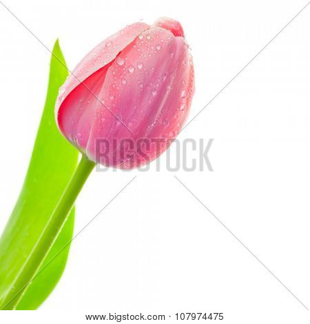 Fresh Big Tulip with waterdrops isolated on white background, spring seasonal card