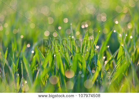 Drops of dew on the blades of grass, green ecology background, focus on the front