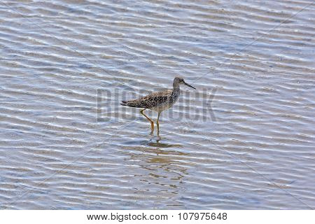 Greater Yellowlegs In A Wetland Habitat