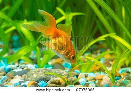 Goldfish In The Ground Looking For Food In Aquarium