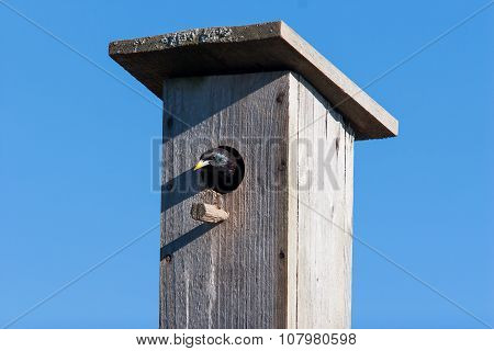 Starling Looks Out Of Handmade Birdhouse. Clear Blue Sky In Sunny Day.