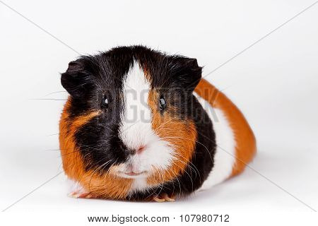 Three-coloured Guinea Pig Sits On A White Background.